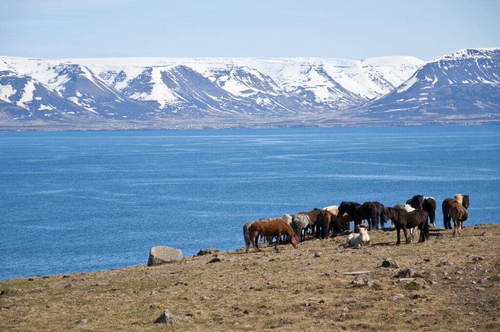 Islandpferde grasen auf unserer Reise durch Island am Meer.